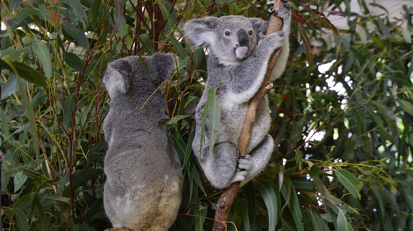 Lone Pine Koala Sanctuary access