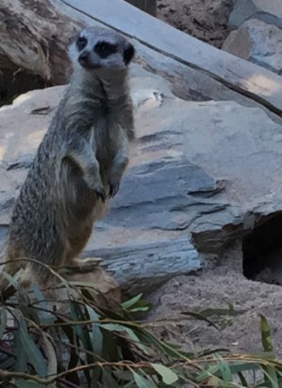 Jamala Wild Encounter Suite Meerkats 3