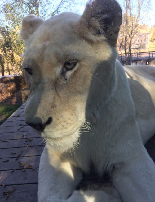 Jamala Wildlife Lodge Lion encounter