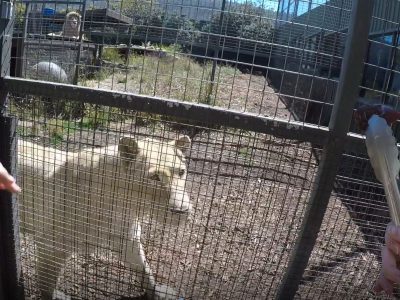 Zoodoo zoo wheelchair access lion encounter