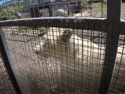 Zoodoo zoo wheelchair friendly lion encounter